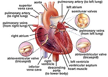 Apbio heart the multicellular chambered muscular structure that pumps blood through the circulatory system by alternately contracting and relaxing ccuart Gallery