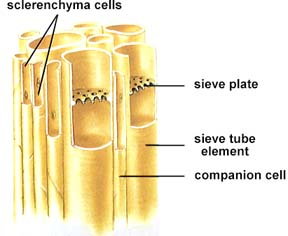 relationship between sieve tubes and companion cells